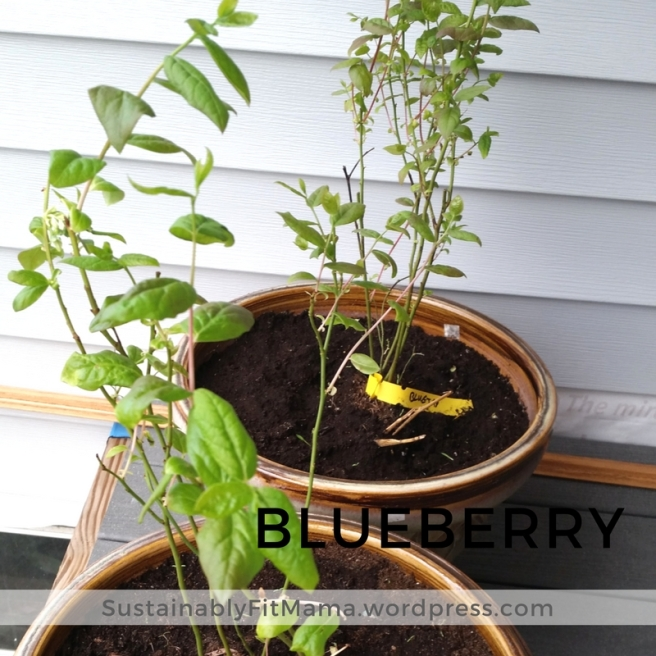 Blueberry plants | SustainablyFitMama.Wordpress.com
