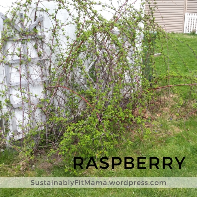 Raspberry patch | SustainablyFitMama.Wordpress.com